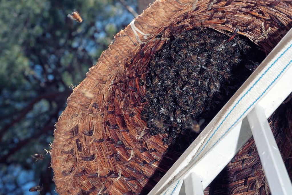 Enjambre de abejas en Santo Angel