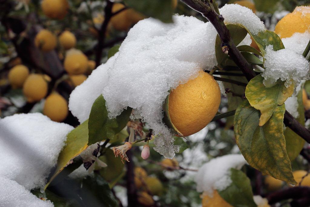 Limoneros con nieve
