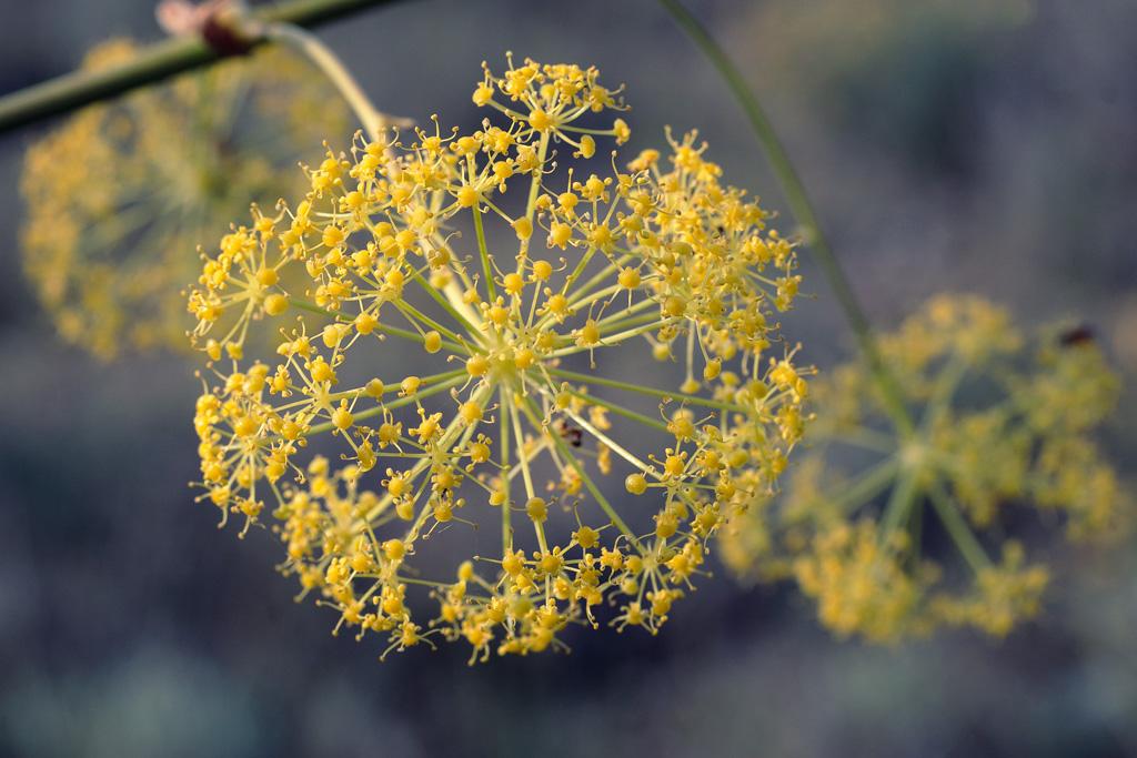 Foeniculum vulgare - Hinojo