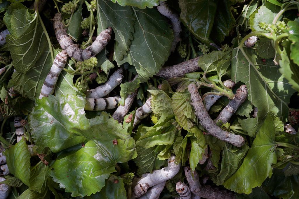 Gusanos de seda - Bombyx mori