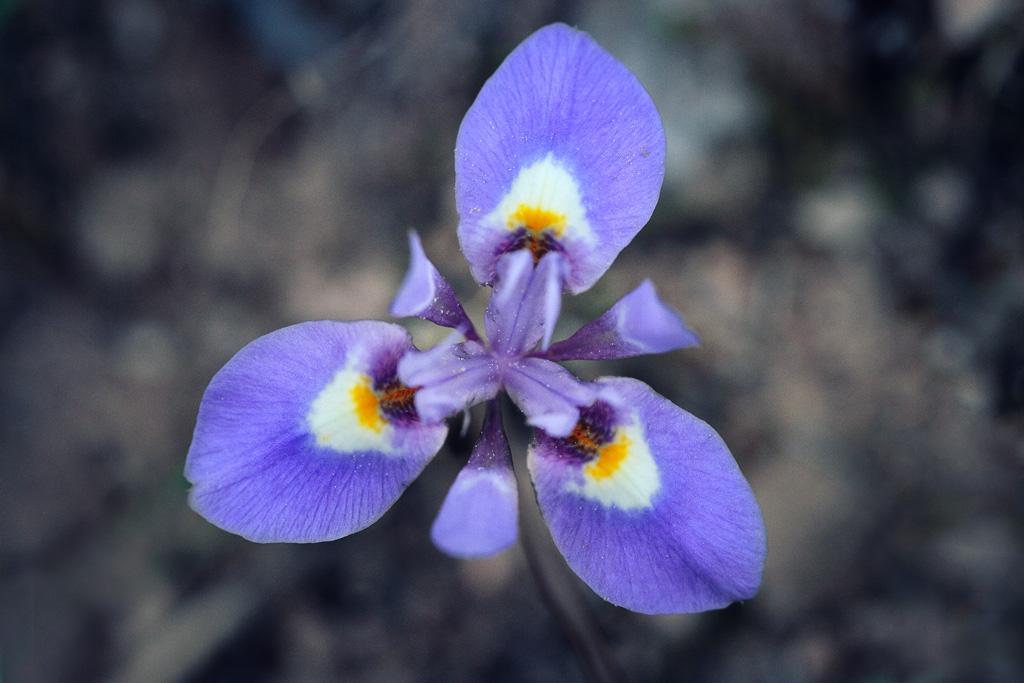 Moraea sisyrinchium - lirio