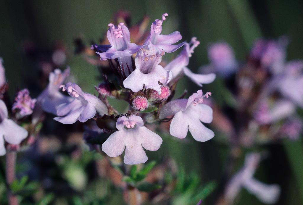 Thymus vulgaris o tomillo