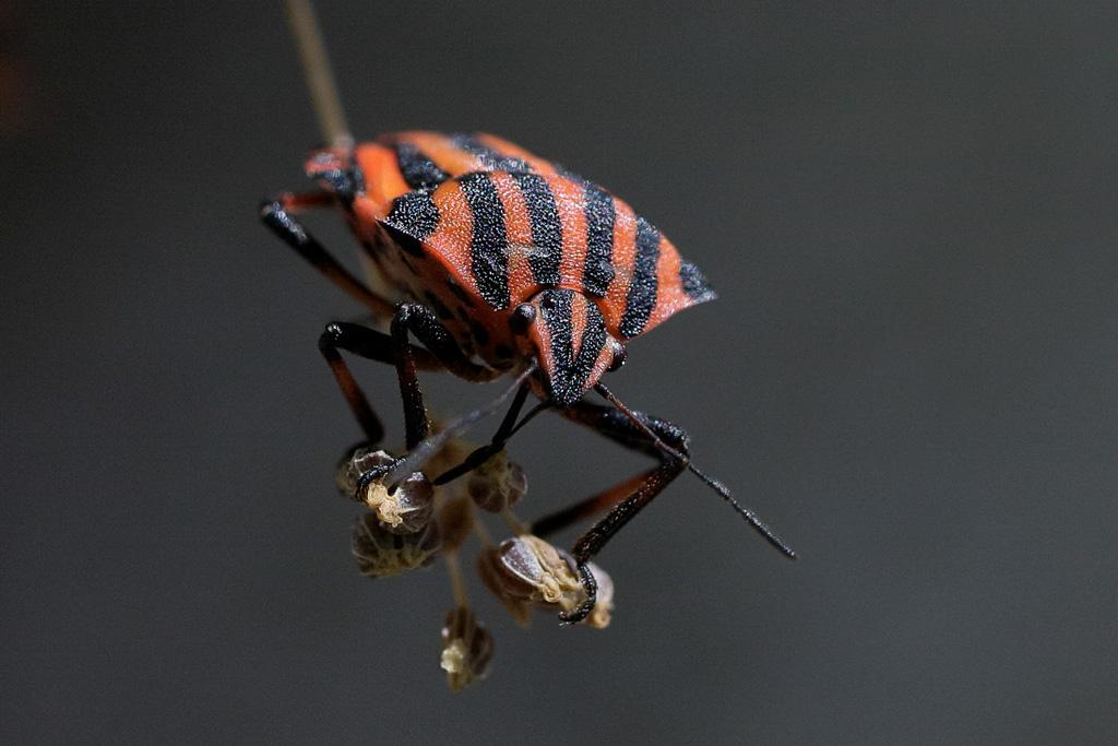 Escarabajo - Graphosoma lineatum italicum