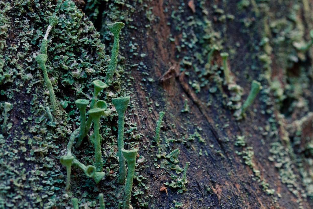 Líquen con tallos en el tronco de un arbol