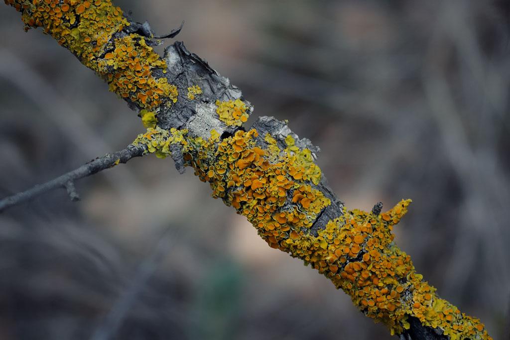 Líquen en una rama
