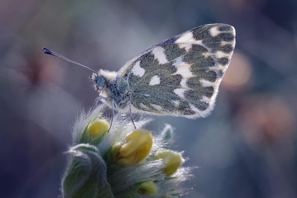 Mariposa - Pontia edusa
