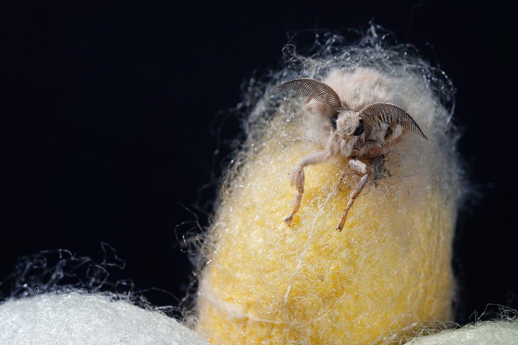Mariposa saliendo del capullo.